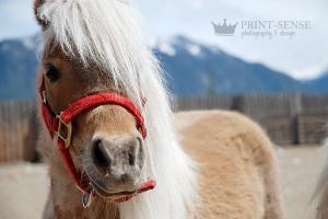 Fort Steele Mini Horse