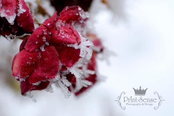 frozen rose hoar frost