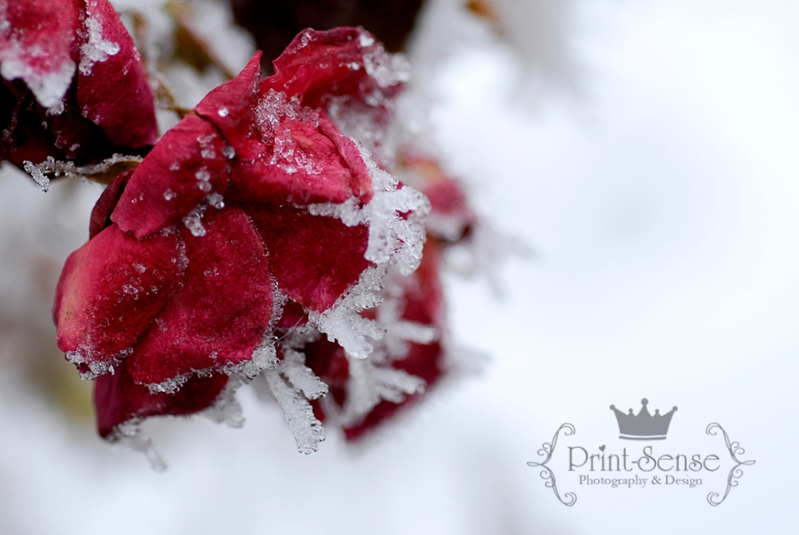 frozen rose hoar frost