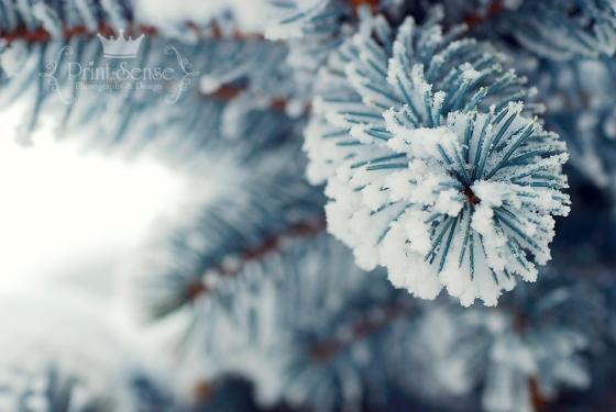 hoar frost blue spruce