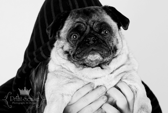 black and white pug photo