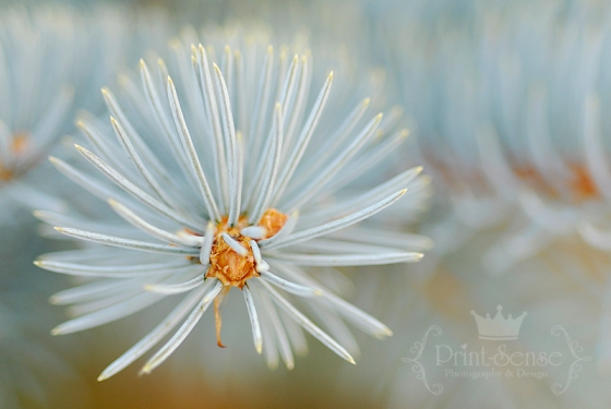 blue spruce print sense photography winter