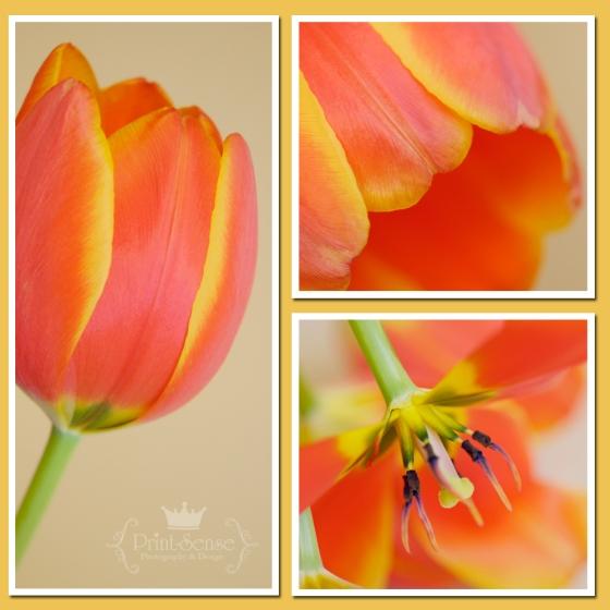 tulip macro photos
