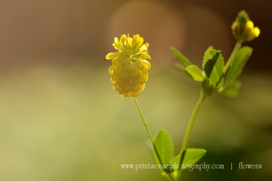 weekly photo challenge golden hour yellow clover Print-Sense Photography