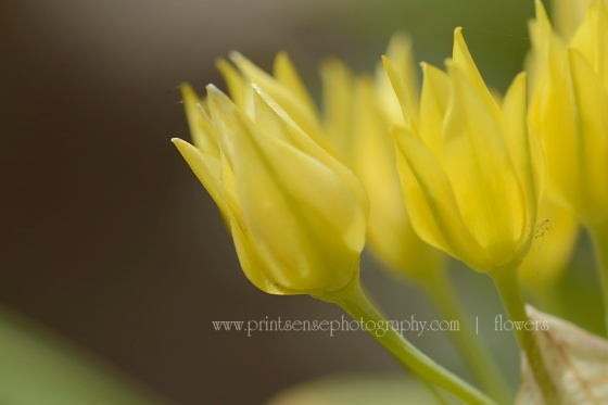 yellow_flower_PrintSensePhotography wb