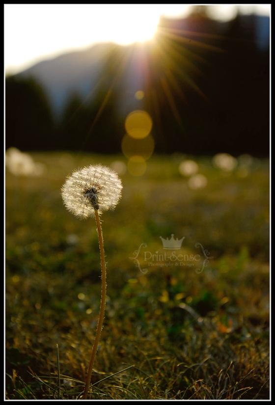 {Print-Sense Photography} dandelion photo sun flare flower photos