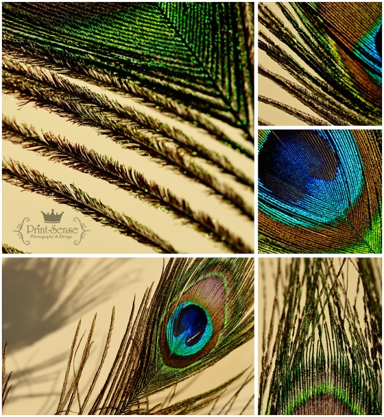 peacock feather,