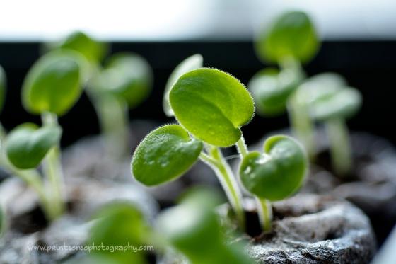 Geranium sprouts , spring, gardening, Print Sense Photography